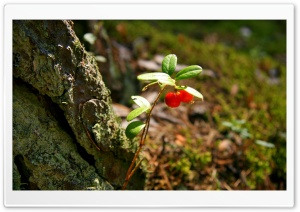 Red Berries Plant HD Wide Wallpaper for Widescreen