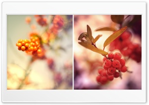 Red Berries Twigs HD Wide Wallpaper for Widescreen