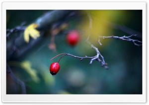 Red Berry Close Up HD Wide Wallpaper for Widescreen