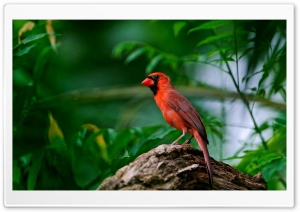 Red Bird HD Wide Wallpaper for Widescreen