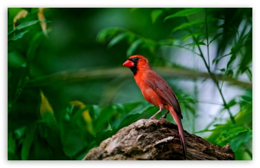 Red Bird HD wallpaper for Standard 4:3 5:4 Fullscreen UXGA XGA SVGA QSXGA SXGA ; Wide 16:10 5:3 Widescreen WHXGA WQXGA WUXGA WXGA WGA ; HD 16:9 High Definition WQHD QWXGA 1080p 900p 720p QHD nHD ; Other 3:2 DVGA HVGA HQVGA devices ( Apple PowerBook G4 iPhone 4 3G 3GS iPod Touch ) ; Mobile VGA WVGA iPhone iPad PSP Phone - VGA QVGA Smartphone ( PocketPC GPS iPod Zune BlackBerry HTC Samsung LG Nokia Eten Asus ) WVGA WQVGA Smartphone ( HTC Samsung Sony Ericsson LG Vertu MIO ) HVGA Smartphone ( Apple iPhone iPod BlackBerry HTC Samsung Nokia ) Sony PSP Zune HD Zen ; Tablet 2 Android ; Dual 4:3 5:4 16:10 5:3 16:9 UXGA XGA SVGA QSXGA SXGA WHXGA WQXGA WUXGA WXGA WGA WQHD QWXGA 1080p 900p 720p QHD nHD ;