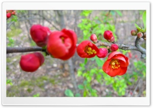 Red Blossom HD Wide Wallpaper for Widescreen