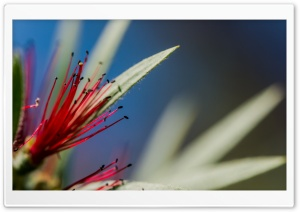 Red Bottlebrush Flower Macro HD Wide Wallpaper for Widescreen
