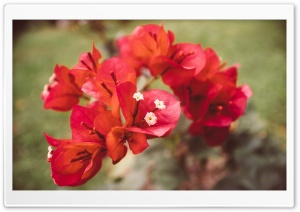 Red Bougainvillea Flowers HD Wide Wallpaper for Widescreen