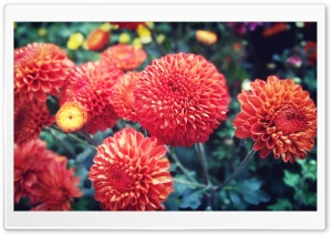 Red Bright Chrysanthemum HD Wide Wallpaper for Widescreen