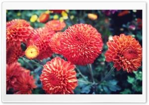 Red Bright Chrysanthemum Ultra HD Wallpaper for 4K UHD Widescreen desktop, tablet & smartphone