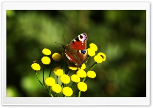Red Butterfly HD Wide Wallpaper for Widescreen