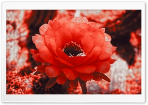 Red Cactus Blossom HD Wide Wallpaper for Widescreen