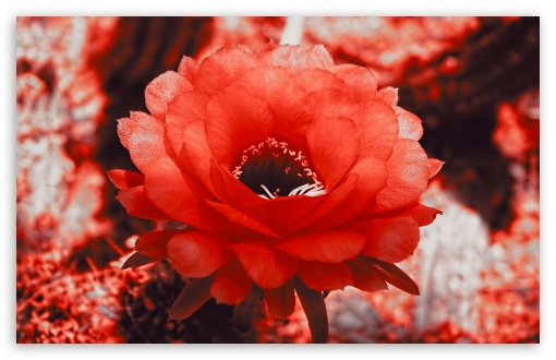Red Cactus Blossom ❤ 4K UHD Wallpaper for Wide 16:10 5:3 Widescreen WHXGA WQXGA WUXGA WXGA WGA ; 4K UHD 16:9 Ultra High Definition 2160p 1440p 1080p 900p 720p ; Standard 4:3 5:4 3:2 Fullscreen UXGA XGA SVGA QSXGA SXGA DVGA HVGA HQVGA ( Apple PowerBook G4 iPhone 4 3G 3GS iPod Touch ) ; Tablet 1:1 ; iPad 1/2/Mini ; Mobile 4:3 5:3 3:2 16:9 5:4 - UXGA XGA SVGA WGA DVGA HVGA HQVGA ( Apple PowerBook G4 iPhone 4 3G 3GS iPod Touch ) 2160p 1440p 1080p 900p 720p QSXGA SXGA ;