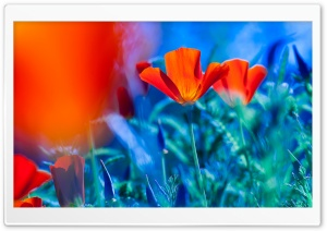 Red California Poppies HD Wide Wallpaper for Widescreen