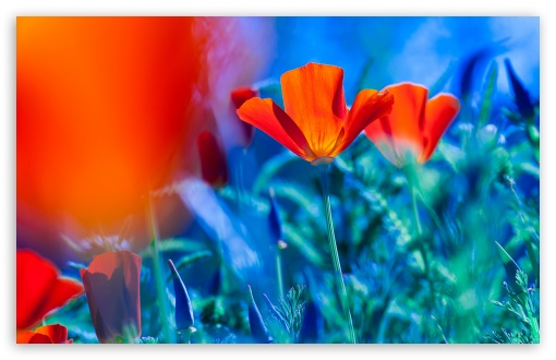 Red California Poppies ❤ 4K UHD Wallpaper for Wide 16:10 5:3 Widescreen WHXGA WQXGA WUXGA WXGA WGA ; UltraWide 21:9 ; 4K UHD 16:9 Ultra High Definition 2160p 1440p 1080p 900p 720p ; Standard 4:3 5:4 3:2 Fullscreen UXGA XGA SVGA QSXGA SXGA DVGA HVGA HQVGA ( Apple PowerBook G4 iPhone 4 3G 3GS iPod Touch ) ; Smartphone 16:9 3:2 5:3 2160p 1440p 1080p 900p 720p DVGA HVGA HQVGA ( Apple PowerBook G4 iPhone 4 3G 3GS iPod Touch ) WGA ; Tablet 1:1 ; iPad 1/2/Mini ; Mobile 4:3 5:3 3:2 16:9 5:4 - UXGA XGA SVGA WGA DVGA HVGA HQVGA ( Apple PowerBook G4 iPhone 4 3G 3GS iPod Touch ) 2160p 1440p 1080p 900p 720p QSXGA SXGA ; Dual 16:10 5:3 16:9 4:3 5:4 3:2 WHXGA WQXGA WUXGA WXGA WGA 2160p 1440p 1080p 900p 720p UXGA XGA SVGA QSXGA SXGA DVGA HVGA HQVGA ( Apple PowerBook G4 iPhone 4 3G 3GS iPod Touch ) ;