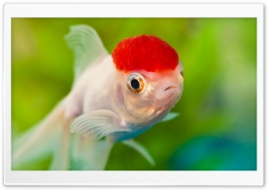 Red Cap Oranda Goldfish HD Wide Wallpaper for 4K UHD Widescreen desktop & smartphone