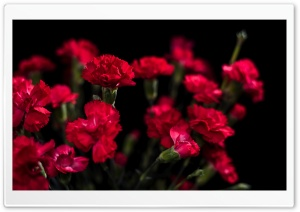 Red Carnations Flowers HD Wide Wallpaper for Widescreen