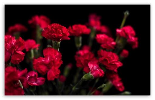 Red Carnations Flowers ❤ 4K UHD Wallpaper for Wide 16:10 5:3 Widescreen WHXGA WQXGA WUXGA WXGA WGA ; UltraWide 21:9 24:10 ; 4K UHD 16:9 Ultra High Definition 2160p 1440p 1080p 900p 720p ; UHD 16:9 2160p 1440p 1080p 900p 720p ; Standard 4:3 5:4 3:2 Fullscreen UXGA XGA SVGA QSXGA SXGA DVGA HVGA HQVGA ( Apple PowerBook G4 iPhone 4 3G 3GS iPod Touch ) ; Smartphone 16:9 5:3 2160p 1440p 1080p 900p 720p WGA ; Tablet 1:1 ; iPad 1/2/Mini ; Mobile 4:3 5:3 3:2 16:9 5:4 - UXGA XGA SVGA WGA DVGA HVGA HQVGA ( Apple PowerBook G4 iPhone 4 3G 3GS iPod Touch ) 2160p 1440p 1080p 900p 720p QSXGA SXGA ; Dual 16:10 5:3 16:9 4:3 5:4 3:2 WHXGA WQXGA WUXGA WXGA WGA 2160p 1440p 1080p 900p 720p UXGA XGA SVGA QSXGA SXGA DVGA HVGA HQVGA ( Apple PowerBook G4 iPhone 4 3G 3GS iPod Touch ) ;