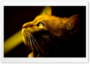 Red Cat Profile HD Wide Wallpaper for Widescreen