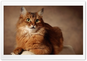 Red Cat Sitting On Armchair HD Wide Wallpaper for Widescreen