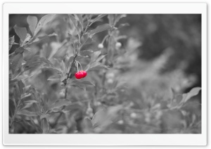 Red Cherry HD Wide Wallpaper for Widescreen