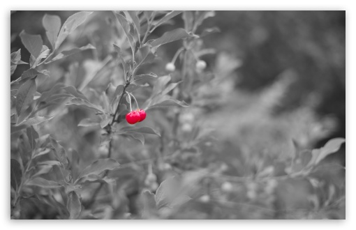 Red Cherry HD wallpaper for Wide 16:10 5:3 Widescreen WHXGA WQXGA WUXGA WXGA WGA ; HD 16:9 High Definition WQHD QWXGA 1080p 900p 720p QHD nHD ; UHD 16:9 WQHD QWXGA 1080p 900p 720p QHD nHD ; Standard 4:3 5:4 3:2 Fullscreen UXGA XGA SVGA QSXGA SXGA DVGA HVGA HQVGA devices ( Apple PowerBook G4 iPhone 4 3G 3GS iPod Touch ) ; Tablet 1:1 ; iPad 1/2/Mini ; Mobile 4:3 5:3 3:2 16:9 5:4 - UXGA XGA SVGA WGA DVGA HVGA HQVGA devices ( Apple PowerBook G4 iPhone 4 3G 3GS iPod Touch ) WQHD QWXGA 1080p 900p 720p QHD nHD QSXGA SXGA ; Dual 16:10 5:3 16:9 4:3 5:4 WHXGA WQXGA WUXGA WXGA WGA WQHD QWXGA 1080p 900p 720p QHD nHD UXGA XGA SVGA QSXGA SXGA ;