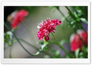 Red Cluster Bloom Ultra HD Wallpaper for 4K UHD Widescreen desktop, tablet & smartphone