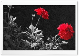 Red Dahlia HD Wide Wallpaper for Widescreen