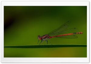 Red Damselfly HD Wide Wallpaper for Widescreen
