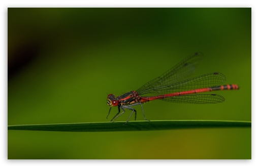 Red Damselfly ❤ 4K UHD Wallpaper for Wide 16:10 5:3 Widescreen WHXGA WQXGA WUXGA WXGA WGA ; UltraWide 21:9 24:10 ; 4K UHD 16:9 Ultra High Definition 2160p 1440p 1080p 900p 720p ; UHD 16:9 2160p 1440p 1080p 900p 720p ; Standard 4:3 5:4 3:2 Fullscreen UXGA XGA SVGA QSXGA SXGA DVGA HVGA HQVGA ( Apple PowerBook G4 iPhone 4 3G 3GS iPod Touch ) ; Tablet 1:1 ; iPad 1/2/Mini ; Mobile 4:3 5:3 3:2 16:9 5:4 - UXGA XGA SVGA WGA DVGA HVGA HQVGA ( Apple PowerBook G4 iPhone 4 3G 3GS iPod Touch ) 2160p 1440p 1080p 900p 720p QSXGA SXGA ;