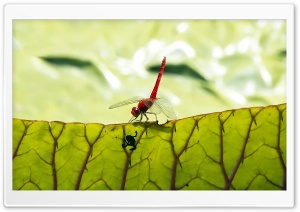 Red Dragonfly HD Wide Wallpaper for 4K UHD Widescreen desktop & smartphone