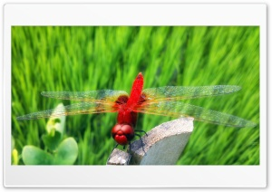 Red Dragonfly HD Wide Wallpaper for Widescreen
