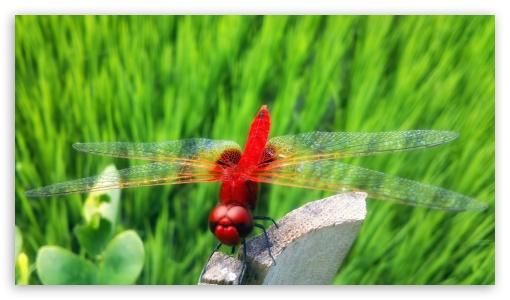 Red Dragonfly ❤ 4K UHD Wallpaper for 4K UHD 16:9 Ultra High Definition 2160p 1440p 1080p 900p 720p ; Mobile 16:9 - 2160p 1440p 1080p 900p 720p ; Dual 4:3 5:4 UXGA XGA SVGA QSXGA SXGA ;