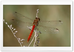 Red Dragonfly Macro HD Wide Wallpaper for Widescreen