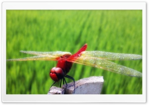 Red Dragonfly Part 2 HD Wide Wallpaper for 4K UHD Widescreen desktop & smartphone