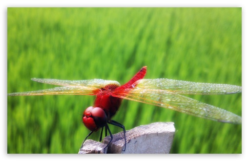 Red Dragonfly Part 2 ❤ 4K UHD Wallpaper for Wide 16:10 5:3 Widescreen WHXGA WQXGA WUXGA WXGA WGA ; 4K UHD 16:9 Ultra High Definition 2160p 1440p 1080p 900p 720p ; Standard 4:3 5:4 3:2 Fullscreen UXGA XGA SVGA QSXGA SXGA DVGA HVGA HQVGA ( Apple PowerBook G4 iPhone 4 3G 3GS iPod Touch ) ; Tablet 1:1 ; iPad 1/2/Mini ; Mobile 4:3 5:3 3:2 16:9 5:4 - UXGA XGA SVGA WGA DVGA HVGA HQVGA ( Apple PowerBook G4 iPhone 4 3G 3GS iPod Touch ) 2160p 1440p 1080p 900p 720p QSXGA SXGA ; Dual 16:10 4:3 5:4 WHXGA WQXGA WUXGA WXGA UXGA XGA SVGA QSXGA SXGA ;