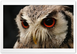 Red Eyed Owl HD Wide Wallpaper for Widescreen
