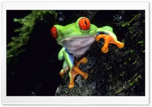 Red Eyed Tree Frog HD Wide Wallpaper for Widescreen