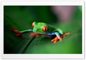 Red-eyed tree frog Macro Ultra HD Wallpaper for 4K UHD Widescreen desktop, tablet & smartphone
