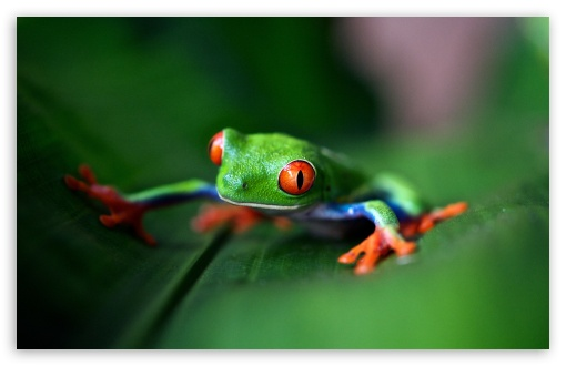 red eyed tree frog macro wallpapers