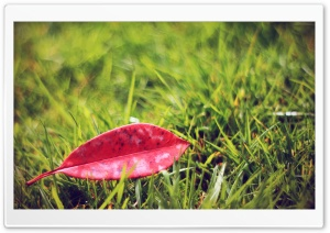 Red Fallen Leaf HD Wide Wallpaper for Widescreen