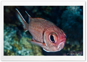 Red Fish with Big Eyes HD Wide Wallpaper for Widescreen