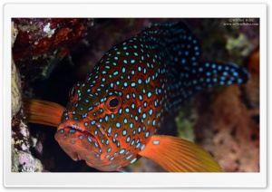 Red Fish With Blue Spots HD Wide Wallpaper for Widescreen