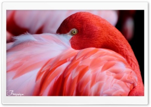 Red Flamingo HD Wide Wallpaper for 4K UHD Widescreen desktop & smartphone