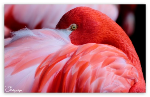 Red Flamingo HD wallpaper for Wide 16:10 5:3 Widescreen WHXGA WQXGA WUXGA WXGA WGA ; HD 16:9 High Definition WQHD QWXGA 1080p 900p 720p QHD nHD ; UHD 16:9 WQHD QWXGA 1080p 900p 720p QHD nHD ; Standard 4:3 5:4 3:2 Fullscreen UXGA XGA SVGA QSXGA SXGA DVGA HVGA HQVGA devices ( Apple PowerBook G4 iPhone 4 3G 3GS iPod Touch ) ; Tablet 1:1 ; iPad 1/2/Mini ; Mobile 4:3 5:3 3:2 16:9 5:4 - UXGA XGA SVGA WGA DVGA HVGA HQVGA devices ( Apple PowerBook G4 iPhone 4 3G 3GS iPod Touch ) WQHD QWXGA 1080p 900p 720p QHD nHD QSXGA SXGA ;