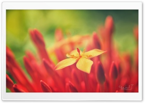 Red Flower HD Wide Wallpaper for Widescreen