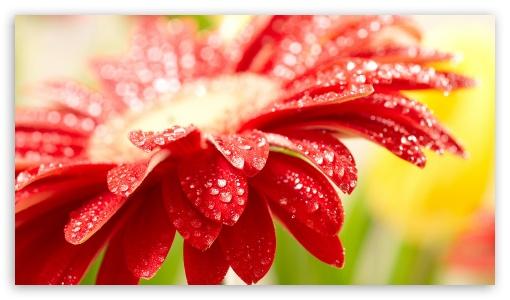 Red flower UltraHD Wallpaper for 8K UHD TV 16:9 Ultra High Definition 2160p 1440p 1080p 900p 720p ; Mobile 16:9 - 2160p 1440p 1080p 900p 720p ;