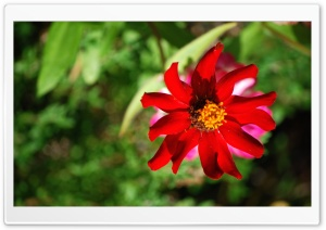 Red Flower Ultra HD Wallpaper for 4K UHD Widescreen desktop, tablet & smartphone