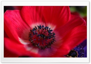 Red Flower Macro HD Wide Wallpaper for Widescreen