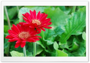 Red Flower Petals HD Wide Wallpaper for Widescreen
