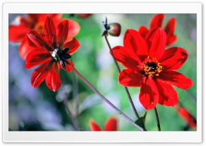 Red Flowers Ultra HD Wallpaper for 4K UHD Widescreen desktop, tablet & smartphone
