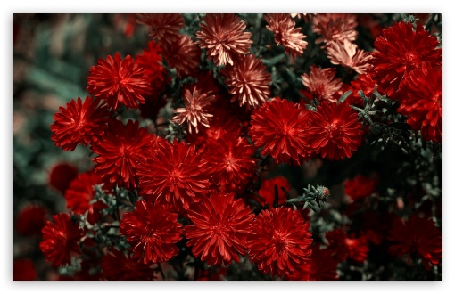 Red Flowers HD wallpaper for Wide 16:10 5:3 Widescreen WHXGA WQXGA WUXGA WXGA WGA ; HD 16:9 High Definition WQHD QWXGA 1080p 900p 720p QHD nHD ; Standard 4:3 5:4 3:2 Fullscreen UXGA XGA SVGA QSXGA SXGA DVGA HVGA HQVGA devices ( Apple PowerBook G4 iPhone 4 3G 3GS iPod Touch ) ; Tablet 1:1 ; iPad 1/2/Mini ; Mobile 4:3 5:3 3:2 16:9 5:4 - UXGA XGA SVGA WGA DVGA HVGA HQVGA devices ( Apple PowerBook G4 iPhone 4 3G 3GS iPod Touch ) WQHD QWXGA 1080p 900p 720p QHD nHD QSXGA SXGA ;