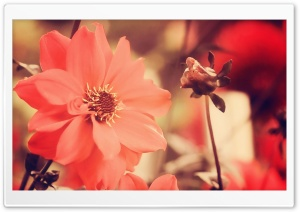 Red Flowers HD Wide Wallpaper for Widescreen