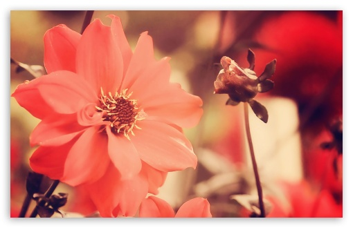 Red Flowers HD wallpaper for Standard 4:3 5:4 Fullscreen UXGA XGA SVGA QSXGA SXGA ; Wide 16:10 5:3 Widescreen WHXGA WQXGA WUXGA WXGA WGA ; HD 16:9 High Definition WQHD QWXGA 1080p 900p 720p QHD nHD ; Other 3:2 DVGA HVGA HQVGA devices ( Apple PowerBook G4 iPhone 4 3G 3GS iPod Touch ) ; Mobile VGA WVGA iPhone iPad PSP Phone - VGA QVGA Smartphone ( PocketPC GPS iPod Zune BlackBerry HTC Samsung LG Nokia Eten Asus ) WVGA WQVGA Smartphone ( HTC Samsung Sony Ericsson LG Vertu MIO ) HVGA Smartphone ( Apple iPhone iPod BlackBerry HTC Samsung Nokia ) Sony PSP Zune HD Zen ;
